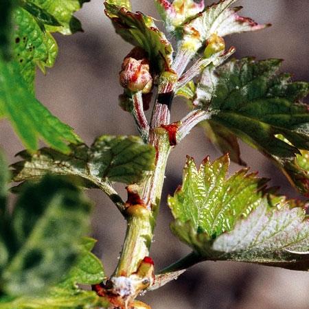 F 12: 5 a 6 hojas expandidas. Inflorescencias visibles.